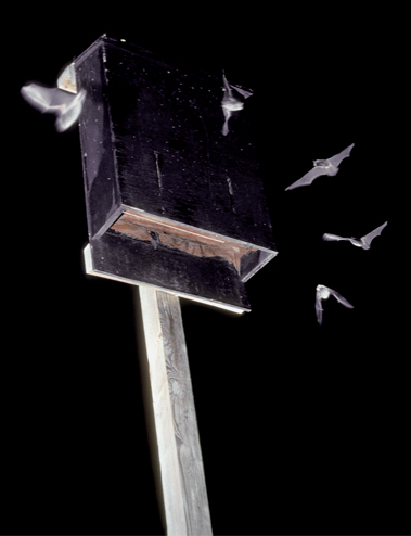 Little brown myotis are in flight around a bat house