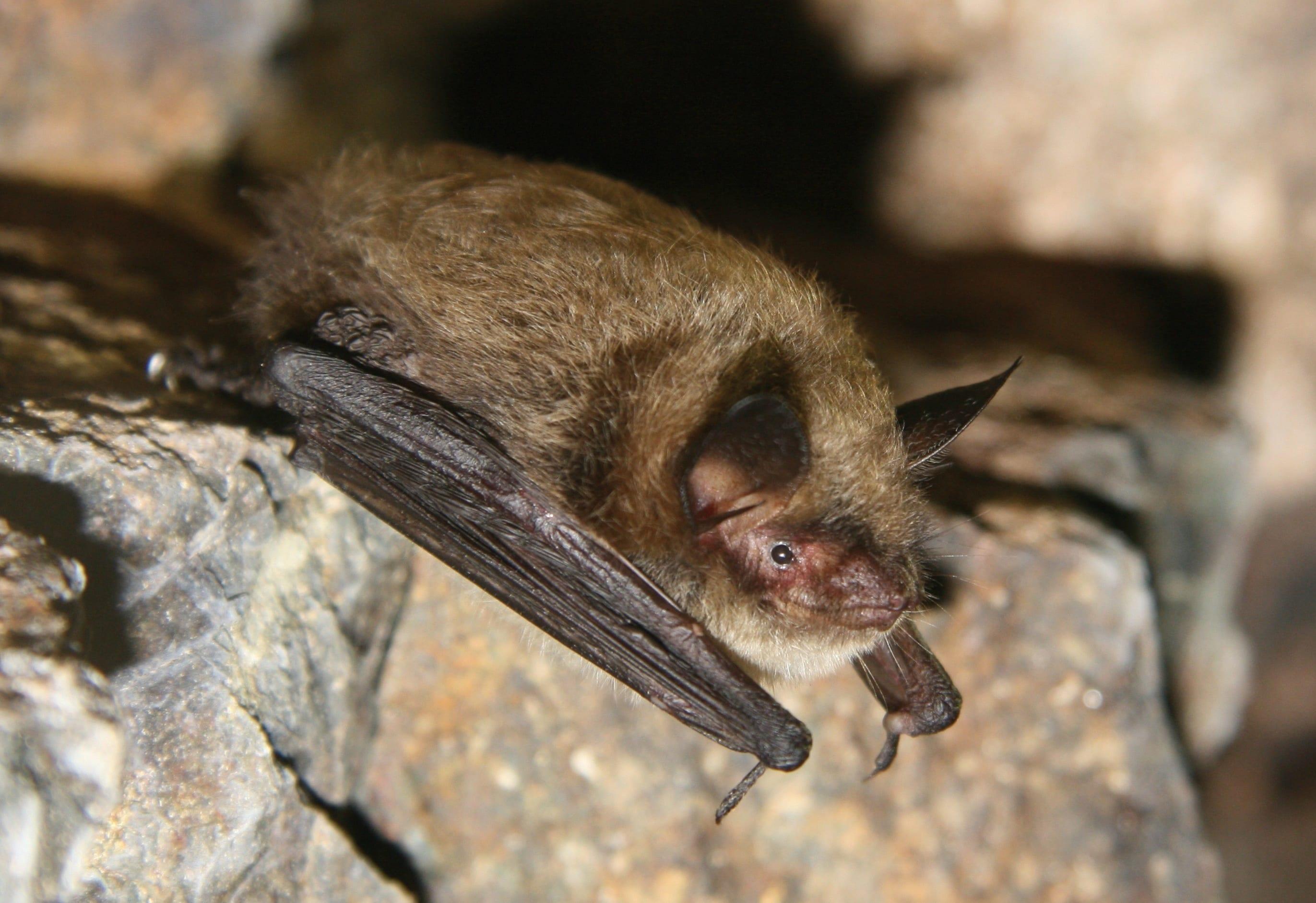 Found An Injured Bat Bat Conservation International