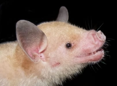 Close up of the Jamaican Flower Bat