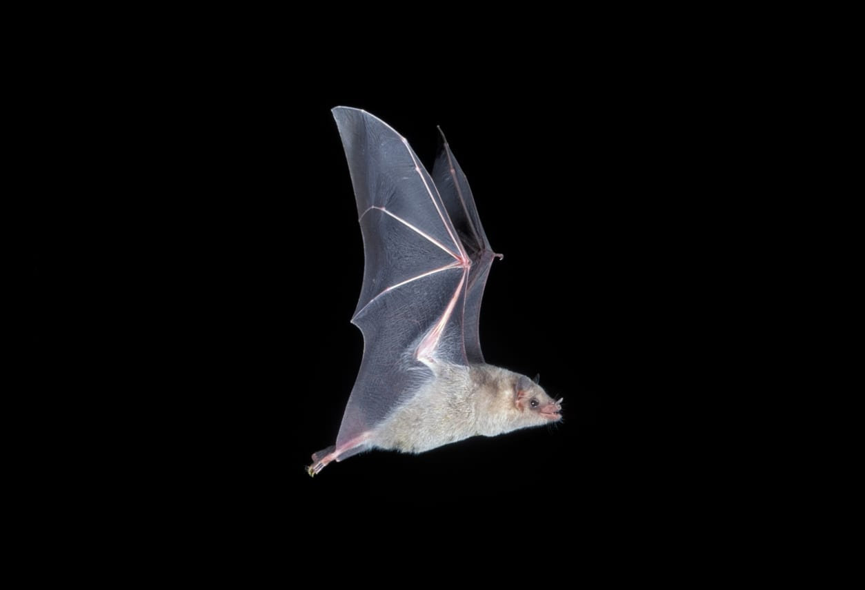 A Mexican long-nosed bat is in flight.