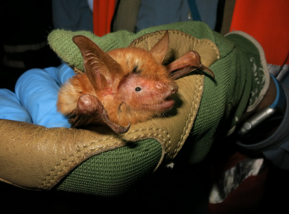Myotis nimbaensis is a new species of bat named for the mountain range in which it is found, the Nimba Mountains in West Africa.