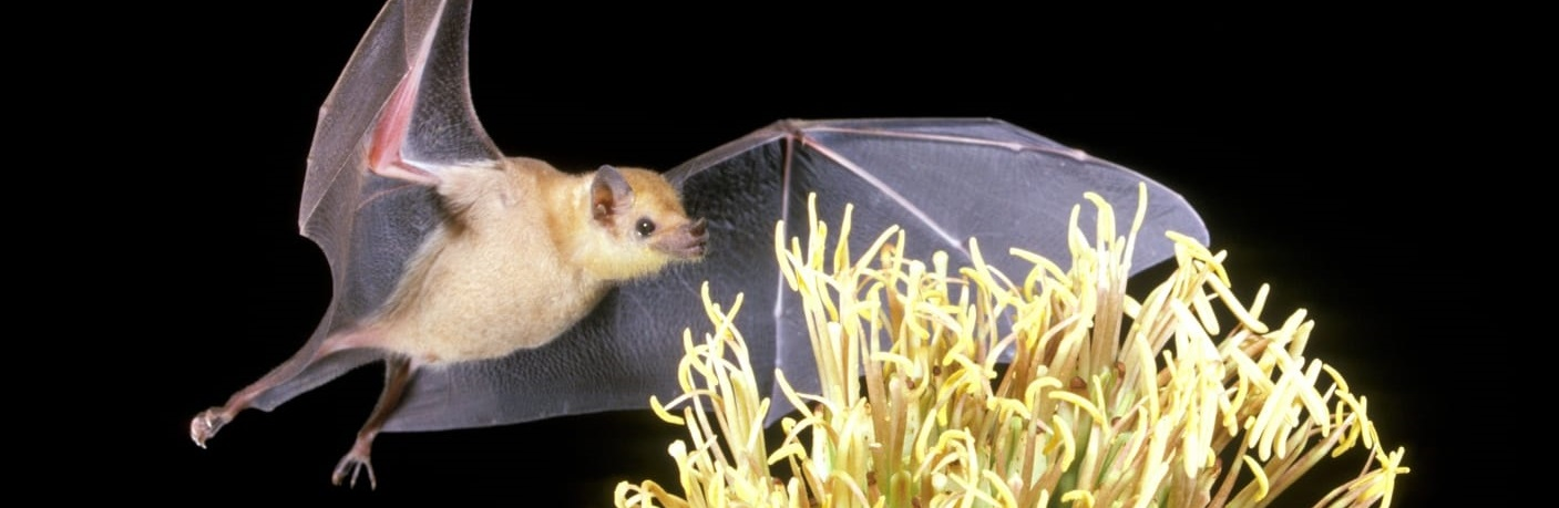 A lesser long-nosed bat pollinates an agave.