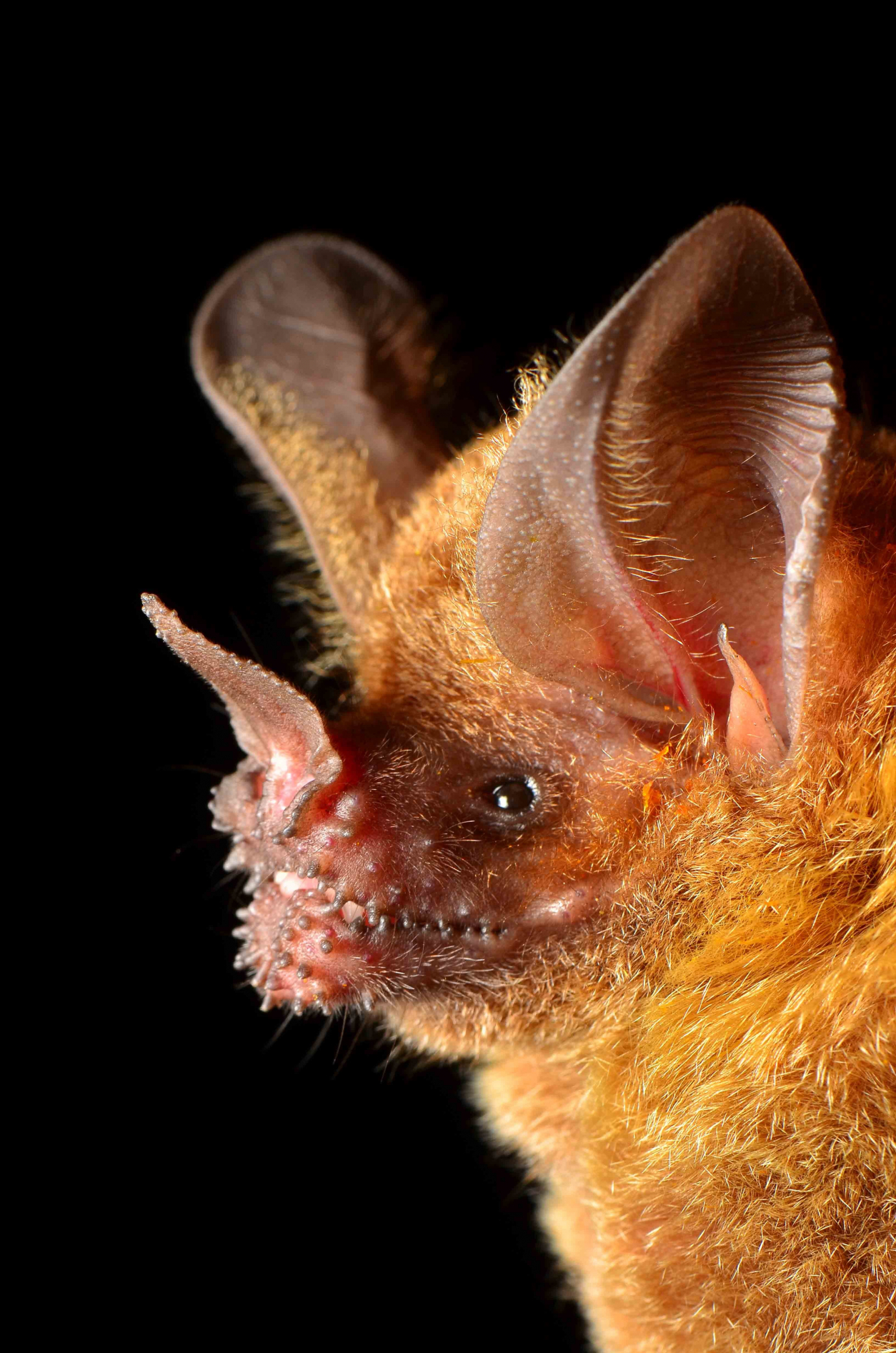 Up-close portrait of a Fring-lipped Bat