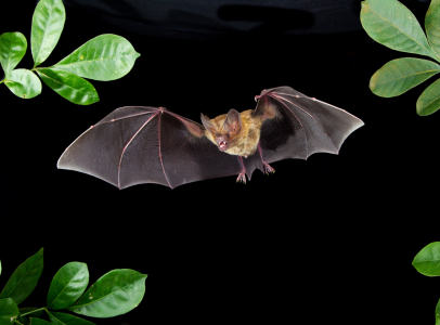 A Fringe-lipped bat flies with mouth open